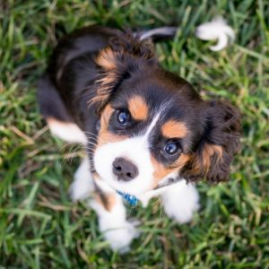Best Food Bowls for Cavalier King Charles Spaniel