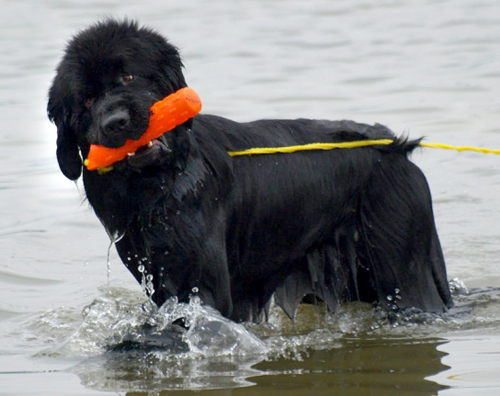 Newfoundland In Water