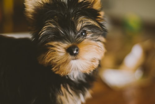 Are Yorkies Prone To Allergies?